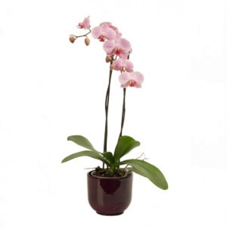 Orchid plant gift